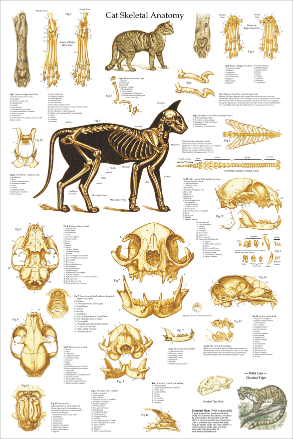 Skeletal Anatomy Of The Domestic Cat Poster