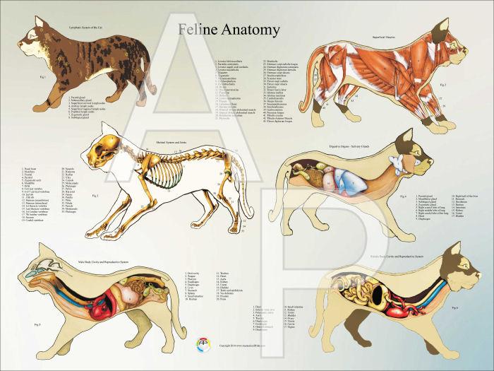 cat anatomy poster 18 x 24