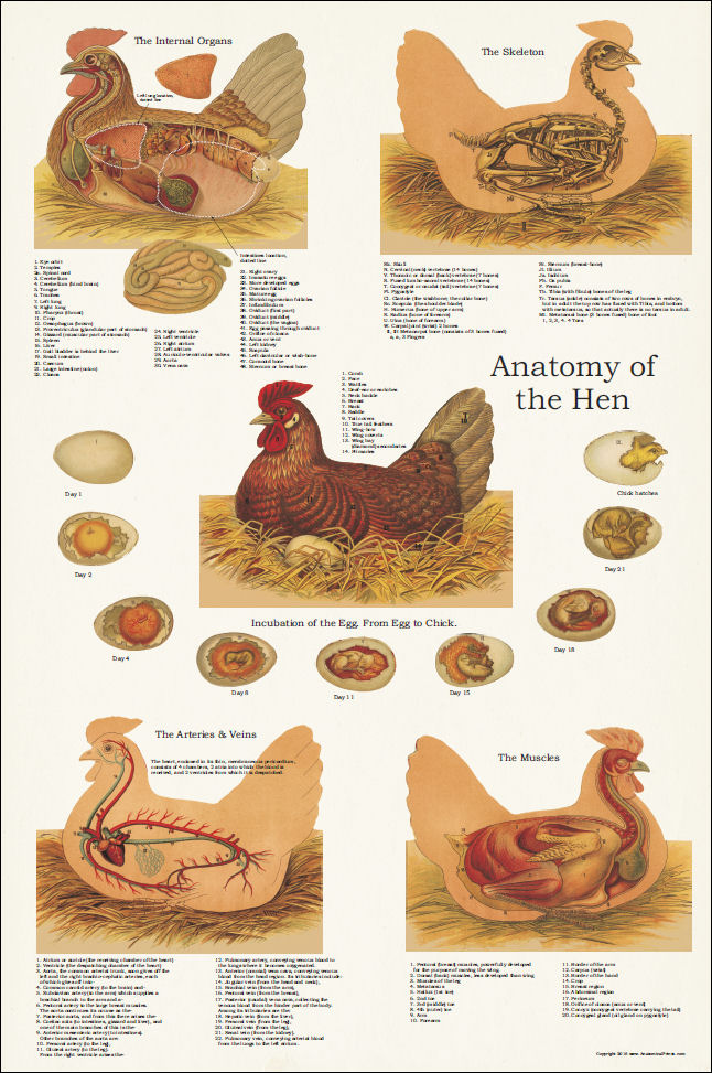 chicken egg poster - Hoss.roshana.co
