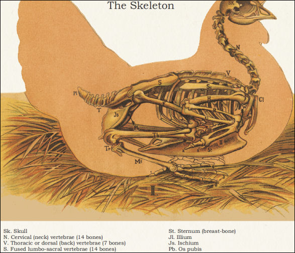 Chicken Skeletal Anatomy Poster