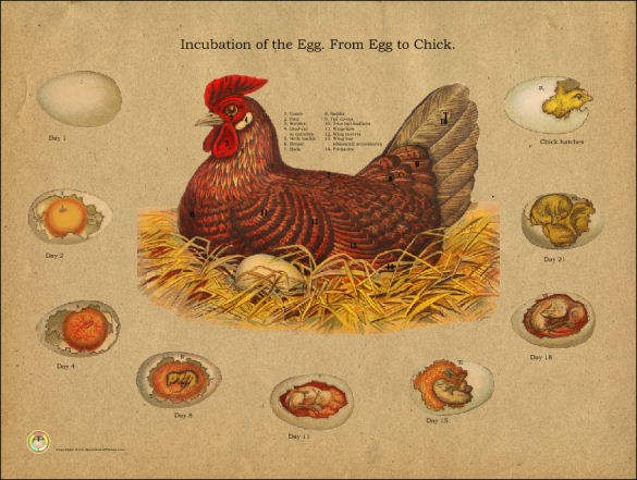 Chicken Egg Incubation Poster