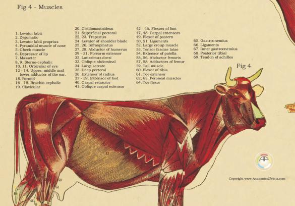 Картинки надписями, мышцы коровы анатомия в картинках