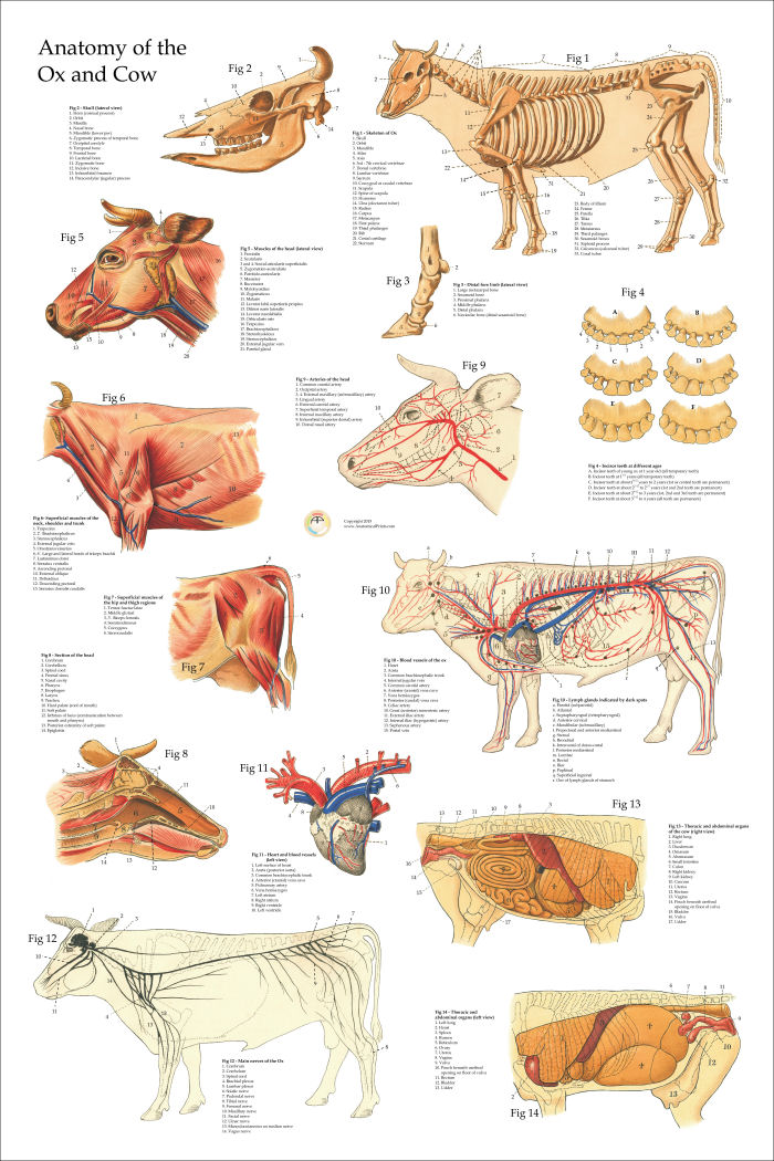 Anatomical Chart Of The Ox Cow 24 X 36