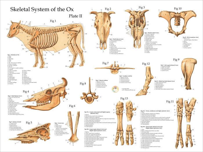 Ox Bovine Skeletal Anatomy Poster