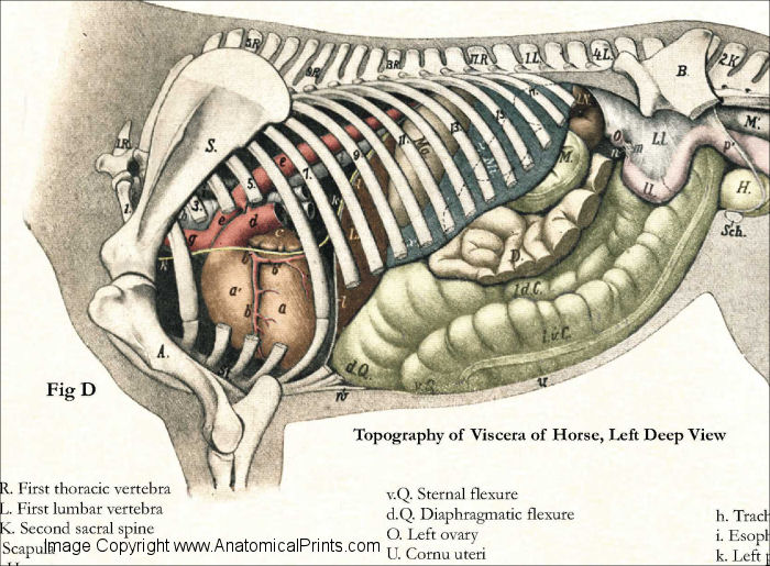 Horse Internal Anatomy Poster 24 X 36