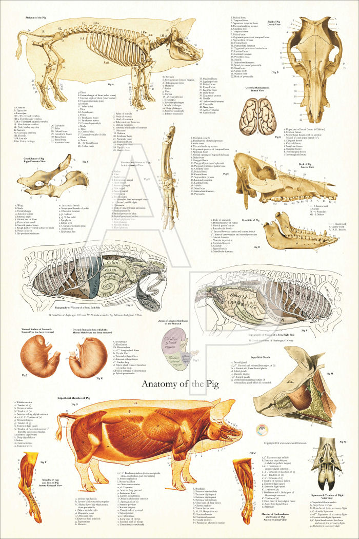 Pig Anatomy Poster