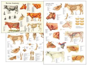 Veterinary anatomy posters