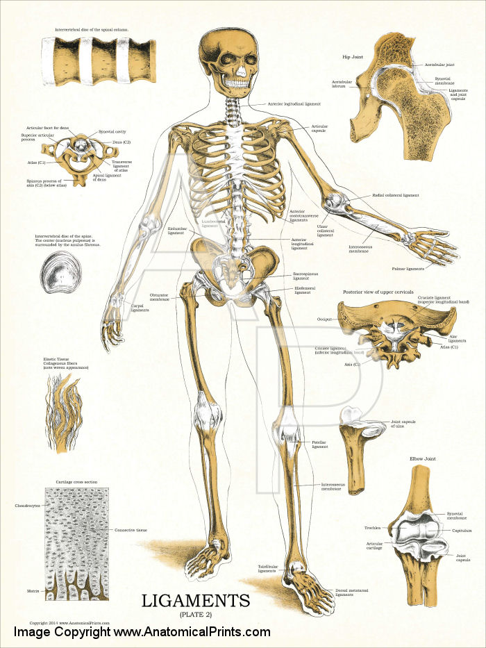 Ligaments and Joints Anatomy Chart 18 x 24