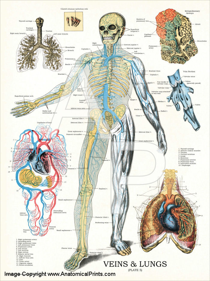 Veins and Lungs Anatomy Chart 18 x 24