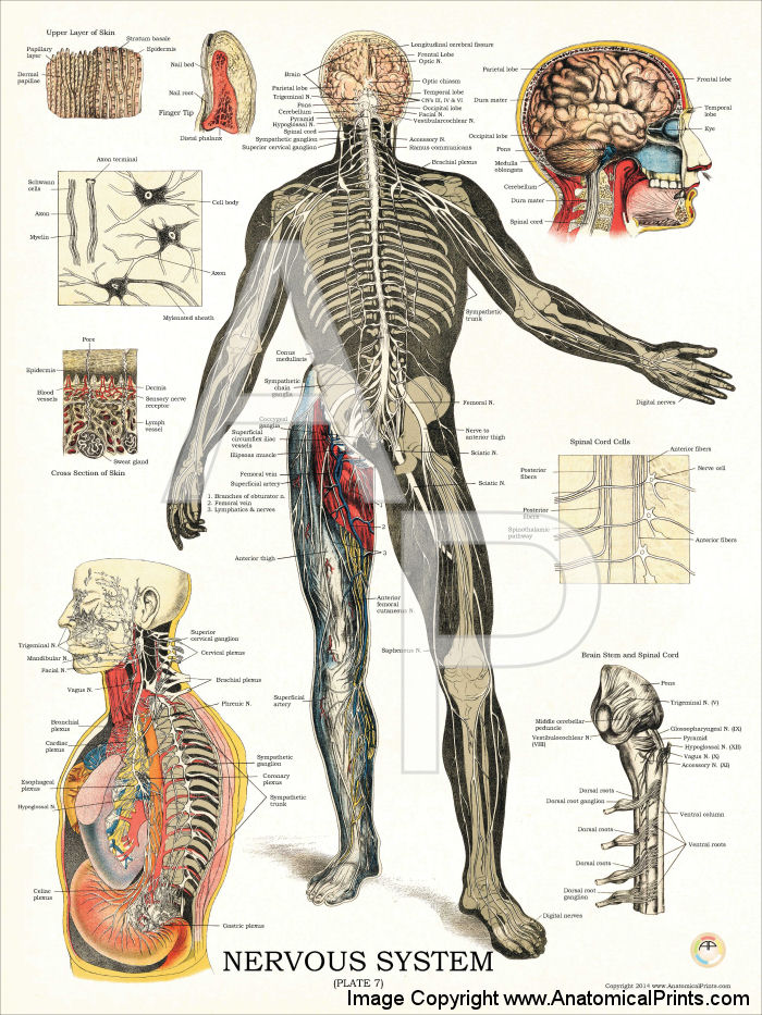 Nervous System Anatomy Poster
