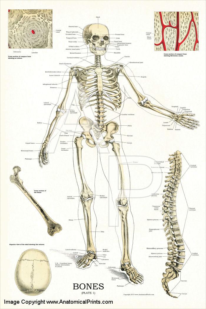 Skeletal System Anatomy Chart 24 X 36