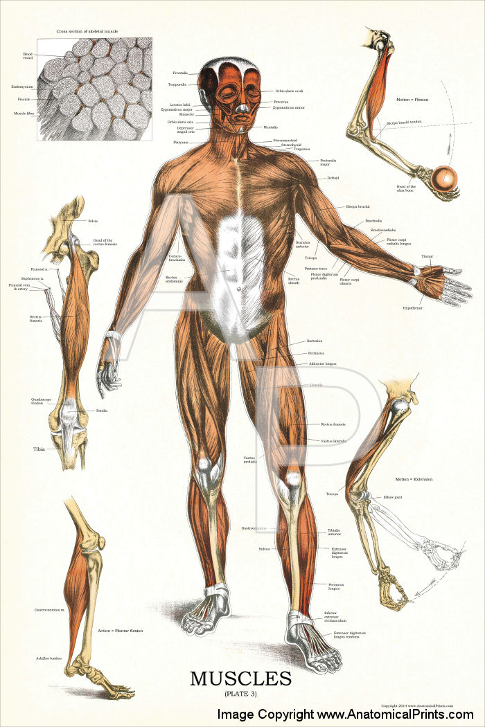 Muscles Anatomy Poster