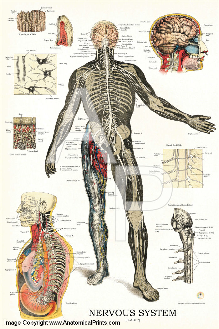 Acupuncture for nervesystem