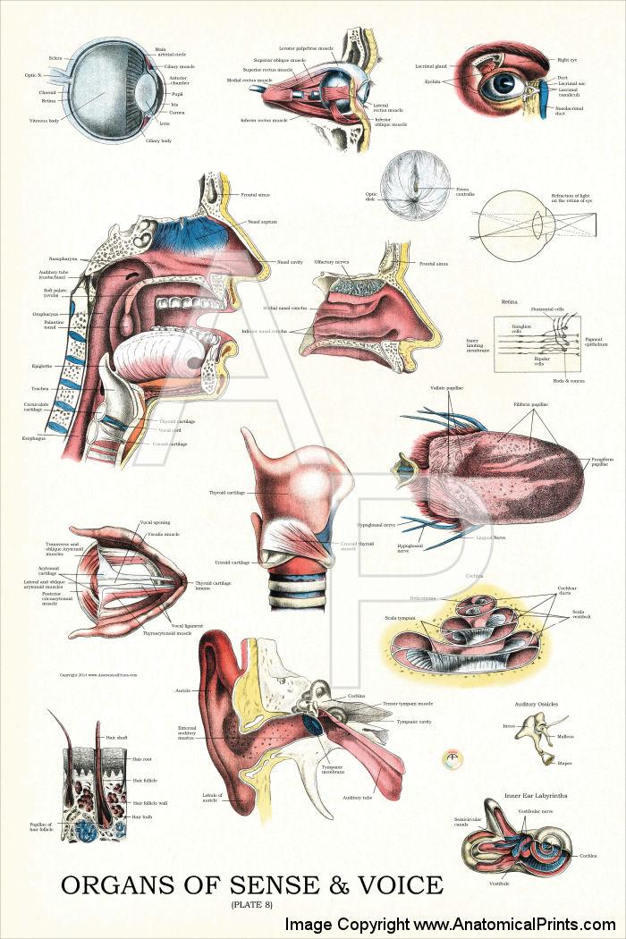 Organs of Sense and Voice Anatomy Chart 24 X 36