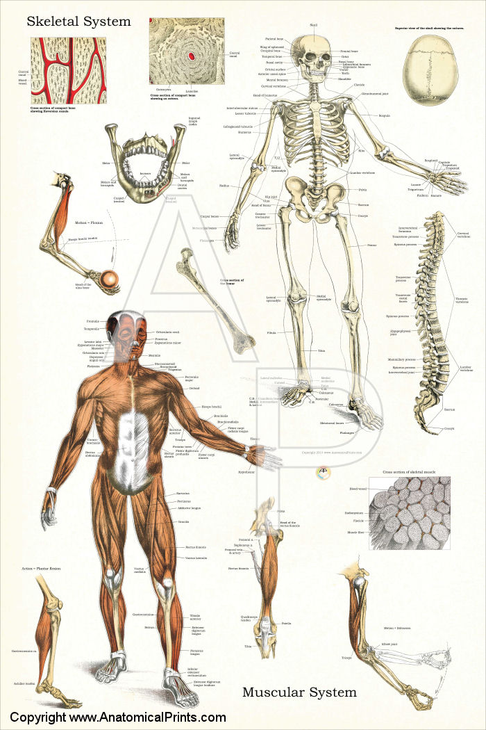 anatomy and physiology charts - Timiz.conceptzmusic.co